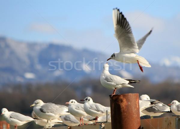 カモメ 飛行 立って 海岸 湖 自然 ストックフォト © Elenarts