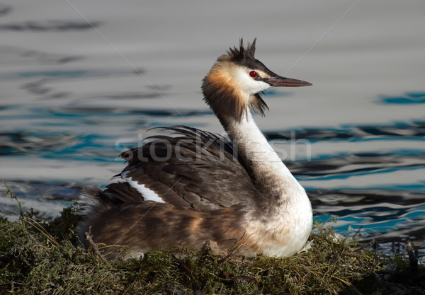 Crested grebe, podiceps cristatus, duck brooding nest Stock photo © Elenarts