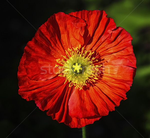 Spring fever red iceland poppy, papaver nudicaule Stock photo © Elenarts