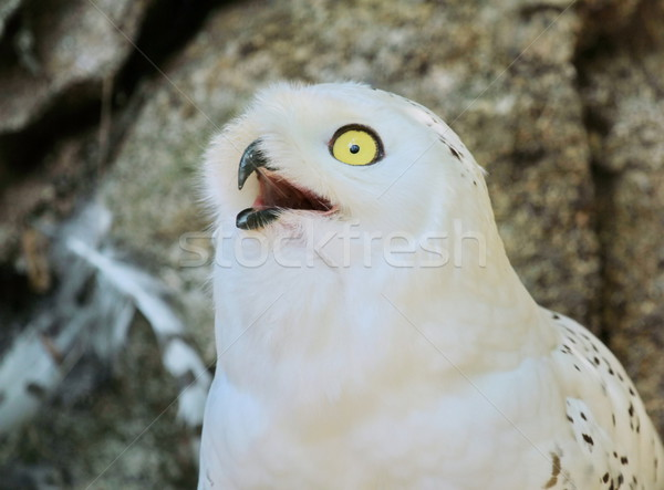 Snowy owl Stock photo © Elenarts
