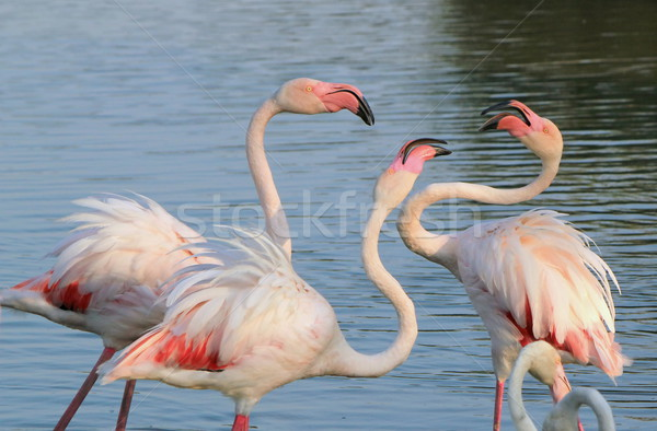 Flamingos fighing Stock photo © Elenarts