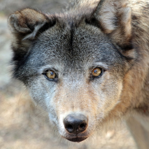Grey wolf portrait Stock photo © Elenarts