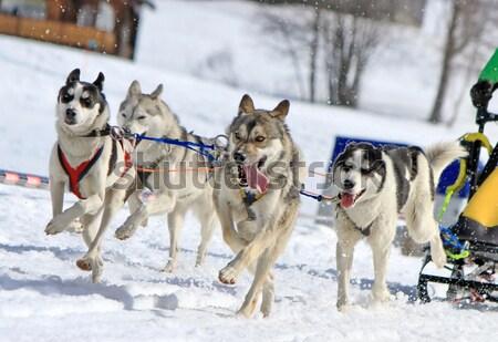 Husky perro trabajo en equipo lengua fuera invierno Foto stock © Elenarts