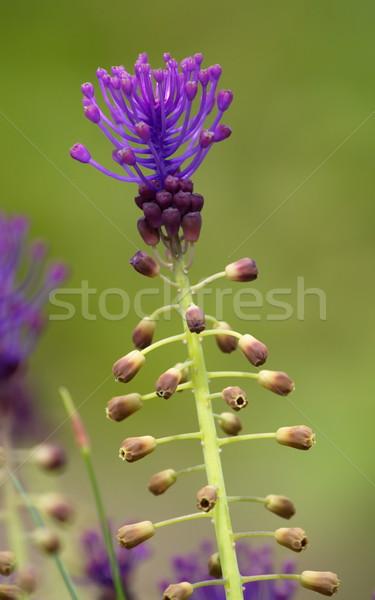 Tassel hyacinth, leopoldia comosa, muscari comosum Stock photo © Elenarts