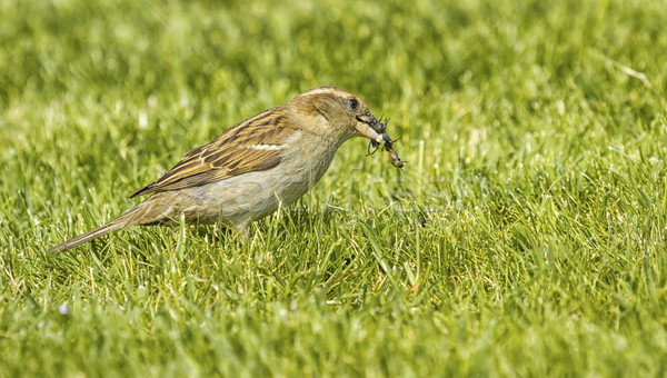Sparrow eating an insect Stock photo © Elenarts