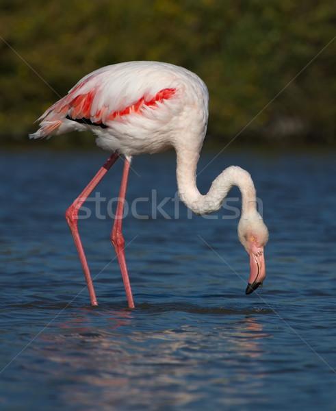 Greater flamingo, phoenicopterus roseus, Camargue, France Stock photo © Elenarts