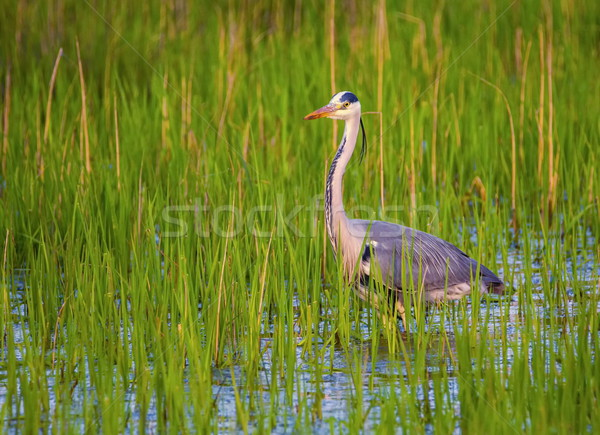 Grey heron, ardea cinerea Stock photo © Elenarts