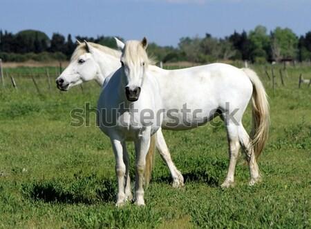Frankrijk twee typisch witte paarden Stockfoto © Elenarts