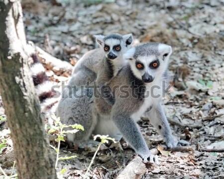 Maki Madagascar jeunes jouer sol bébé Photo stock © Elenarts