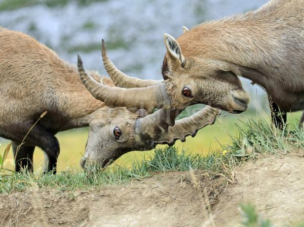 Wild alpine ibex - steinbock fight Stock photo © Elenarts