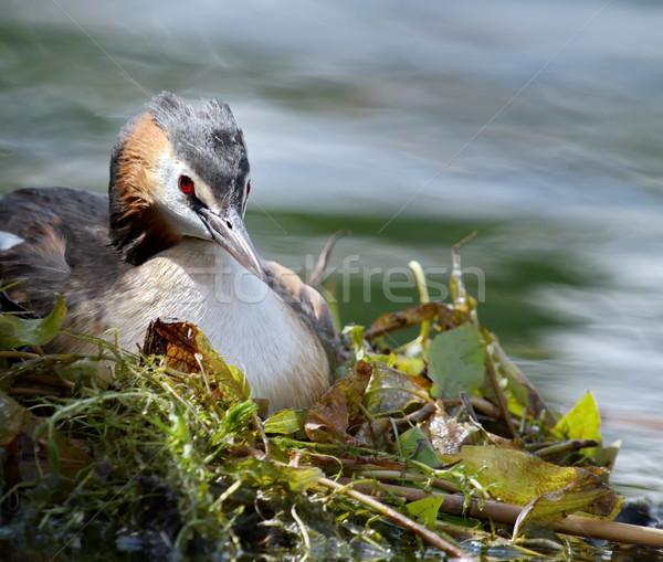 Crested grebe (podiceps cristatus) duck on nest Stock photo © Elenarts