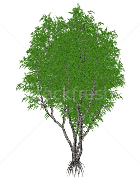 African or lagos mahogany tree, khaya ivorensis - 3D render Stock photo © Elenarts