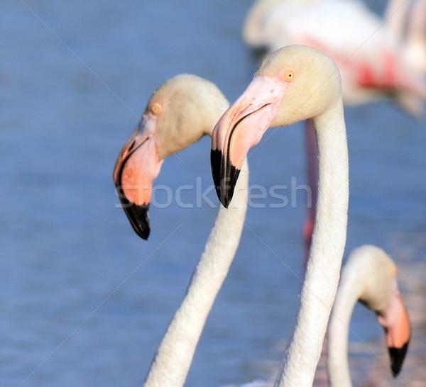 Flamingo portrait Stock photo © Elenarts