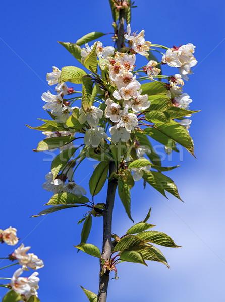 Wild, sweet, bird or gean cherry tree, prunus avium, flowers Stock photo © Elenarts