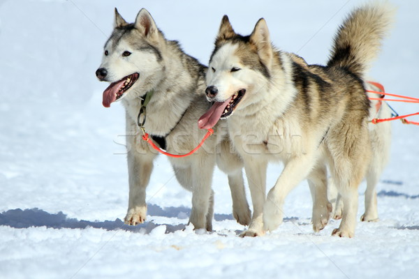 A husky sled dog team at work Stock photo © Elenarts
