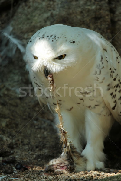 Snowy owl eating Stock photo © Elenarts