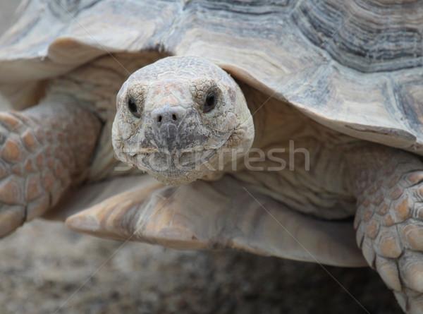 Afrikai teknősbéka comb portré szem fű Stock fotó © Elenarts
