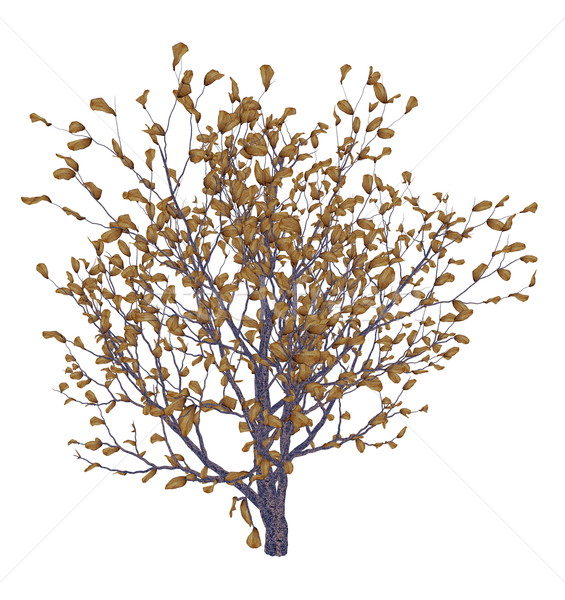 Stock photo: African boxwood tree, myrsine africana - 3D render