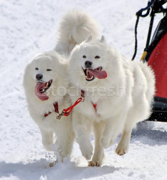 Samoyed sled dog team at work Stock photo © Elenarts