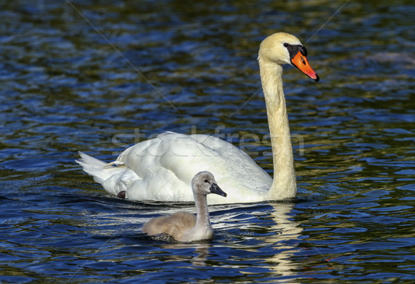 Mute swan, cygnus olor, mother and baby Stock photo © Elenarts