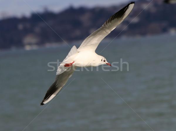鴎 飛行 海岸線 美しい 水 空 ストックフォト © Elenarts