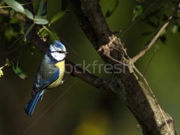 Eurasian bluet tit, cyanistes caeruleus Stock photo © Elenarts