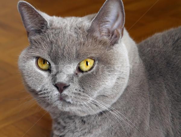 сирень британский короткошерстная портрет желтый глазах Сток-фото © Elenarts