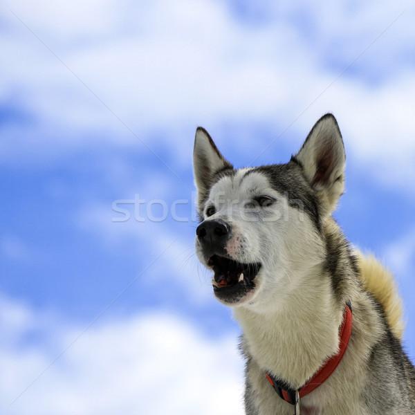 Siberian husky dog barking Stock photo © Elenarts