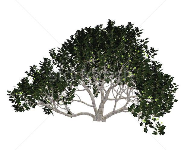 Fig tree - 3D render Stock photo © Elenarts