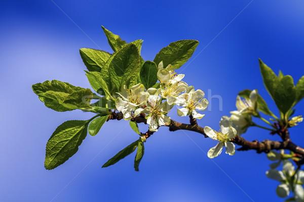Prunus domestica Czar flowers Stock photo © Elenarts