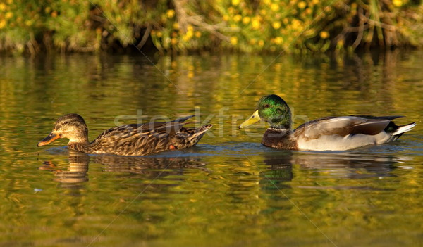 утки пару воды зеленый Сток-фото © Elenarts