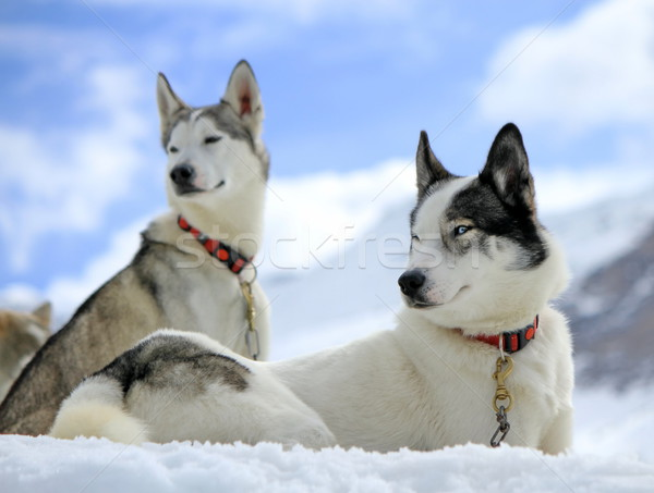 Siberian husky dog in the snow Stock photo © Elenarts