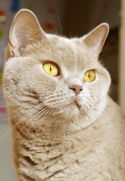 ライラック 英国の ショートヘア 肖像 黄色 目 ストックフォト © Elenarts