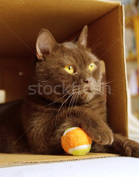 Brown british shorthair in a box Stock photo © Elenarts