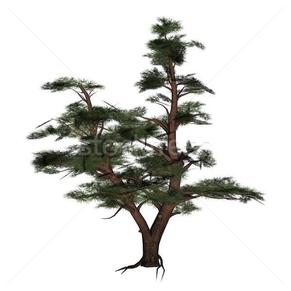 çam ağacı 3d render yalıtılmış beyaz arka plan bitki Stok fotoğraf © Elenarts