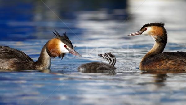 Crested grebe, podiceps cristatus, ducks family Stock photo © Elenarts