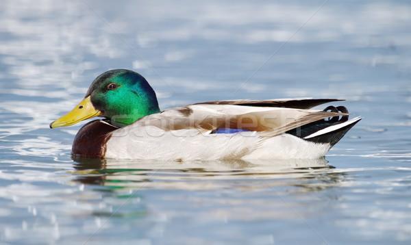 Mallard (anas platyrhynchos) duck Stock photo © Elenarts