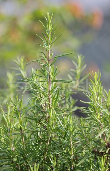 Rosemary plant Stock photo © Elenarts