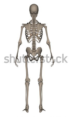 Human skeleton - 3D render Stock photo © Elenarts
