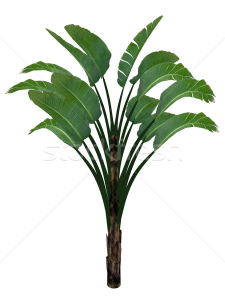 Giant white bird of paradise or wild banana tree, strelitzia nicolai - 3D render Stock photo © Elenarts