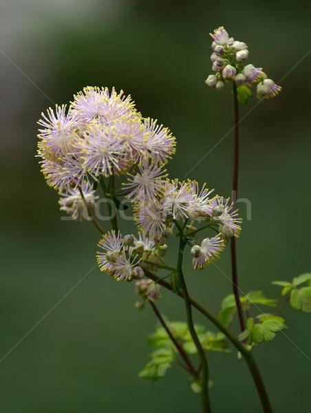 Greater meadow-rue, thalictrum aquilegiifolium Stock photo © Elenarts