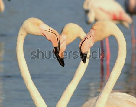 Portré közelkép fehér flamingó víz szem Stock fotó © Elenarts