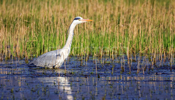 Grey heron, ardea cinerea, in a pond Stock photo © Elenarts