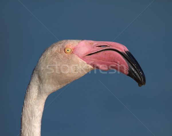 Greater flamingo, phoenicopterus roseus, portrait, Camargue, France Stock photo © Elenarts
