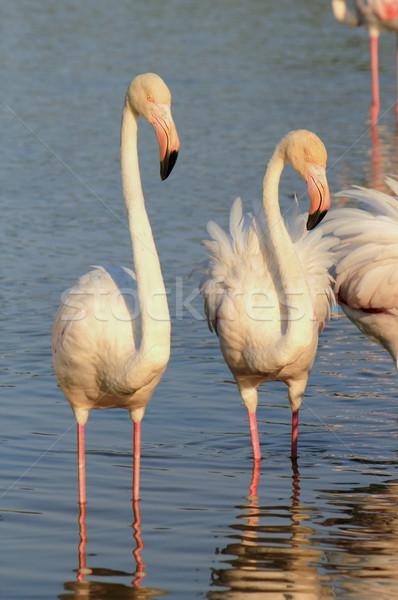 Flamingos Stock photo © Elenarts