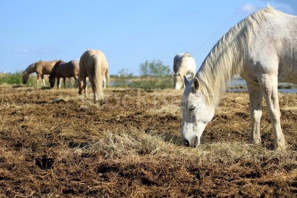 ストックフォト: 白 · 馬 · 食べ · フランス · 典型的な · 乾草