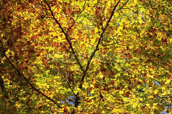красочный дерево листьев осень зеленый оранжевый Сток-фото © Elenarts