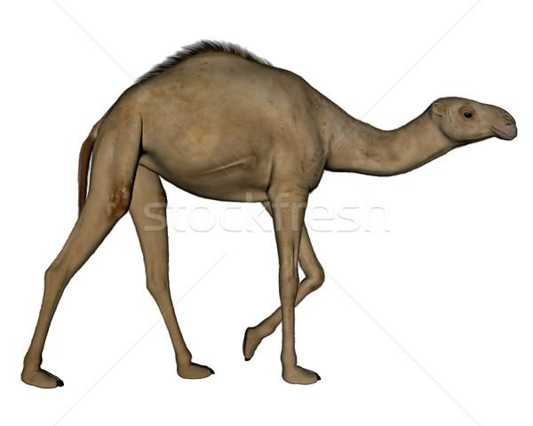 Camello caminando 3d aislado blanco fondo Foto stock © Elenarts