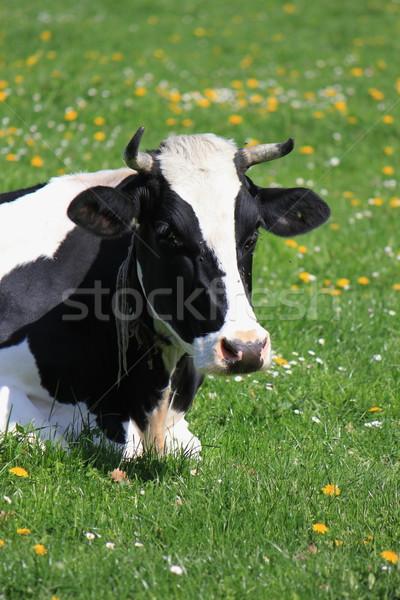 Cow of Fribourg canton, Switzerland,  Stock photo © Elenarts