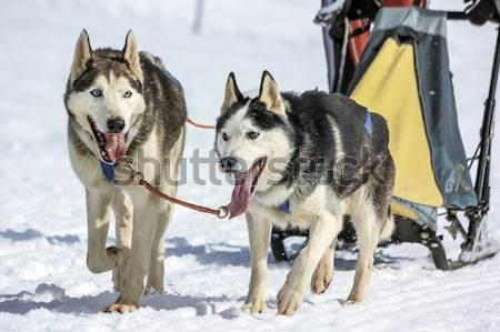 Husky psa język na zewnątrz zimą Zdjęcia stock © Elenarts